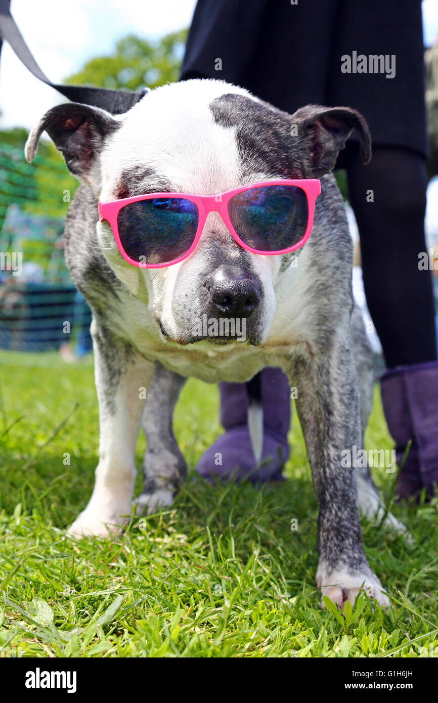 London, UK. 15th May 2016. Zeus the Staffie wearing his pink sunglasses in the hope of a rosette at the All Dogs - Stock Image