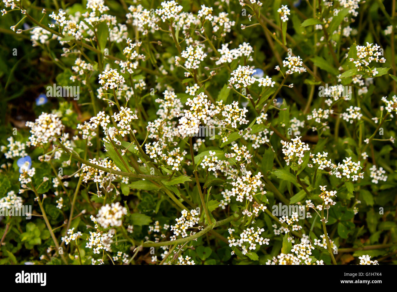 Tiny white flowers stock photos tiny white flowers stock images tiny white flowers on the green grass stock image mightylinksfo