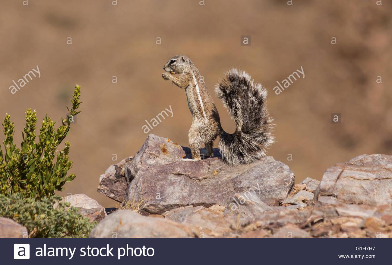Namibian Ground Squirrel enjoying lunch - Stock Image