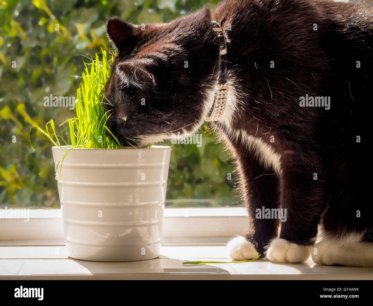 Black and white eating 'cat grass' growing in pot on windowsill - Stock Image