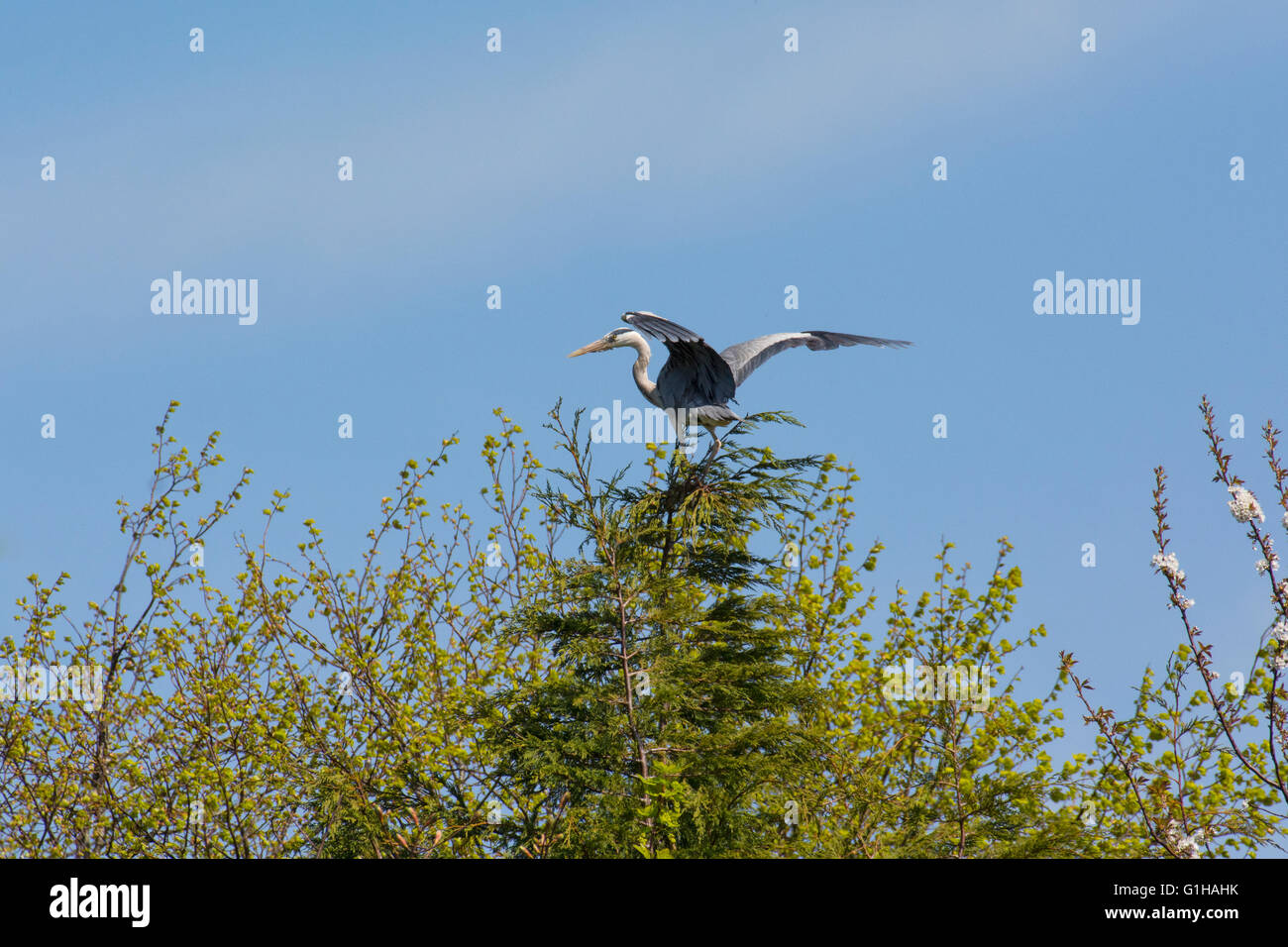 Grey Heron - Stock Image