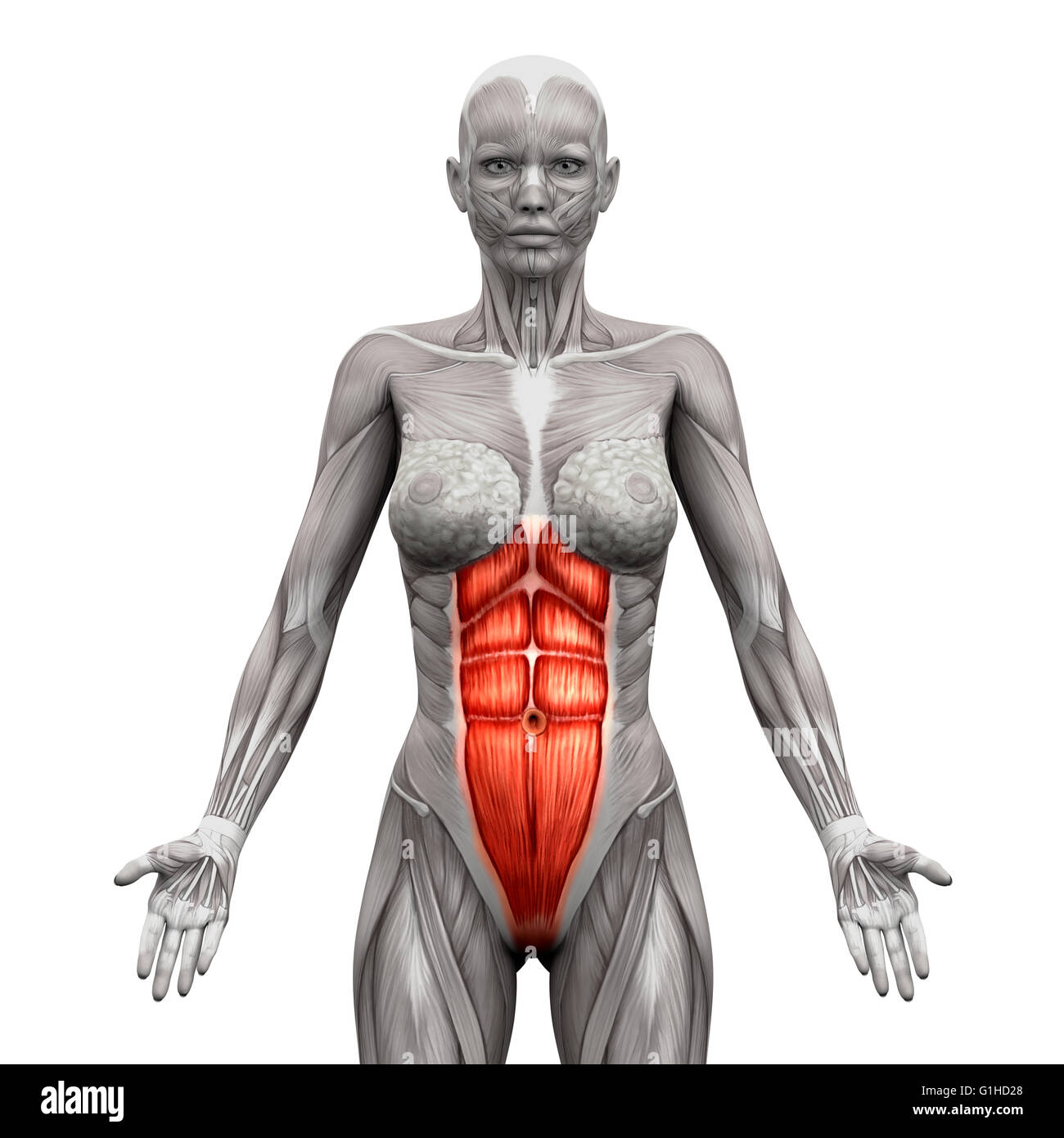 Rectus Abdominis Muscle Stock Photos Rectus Abdominis Muscle Stock