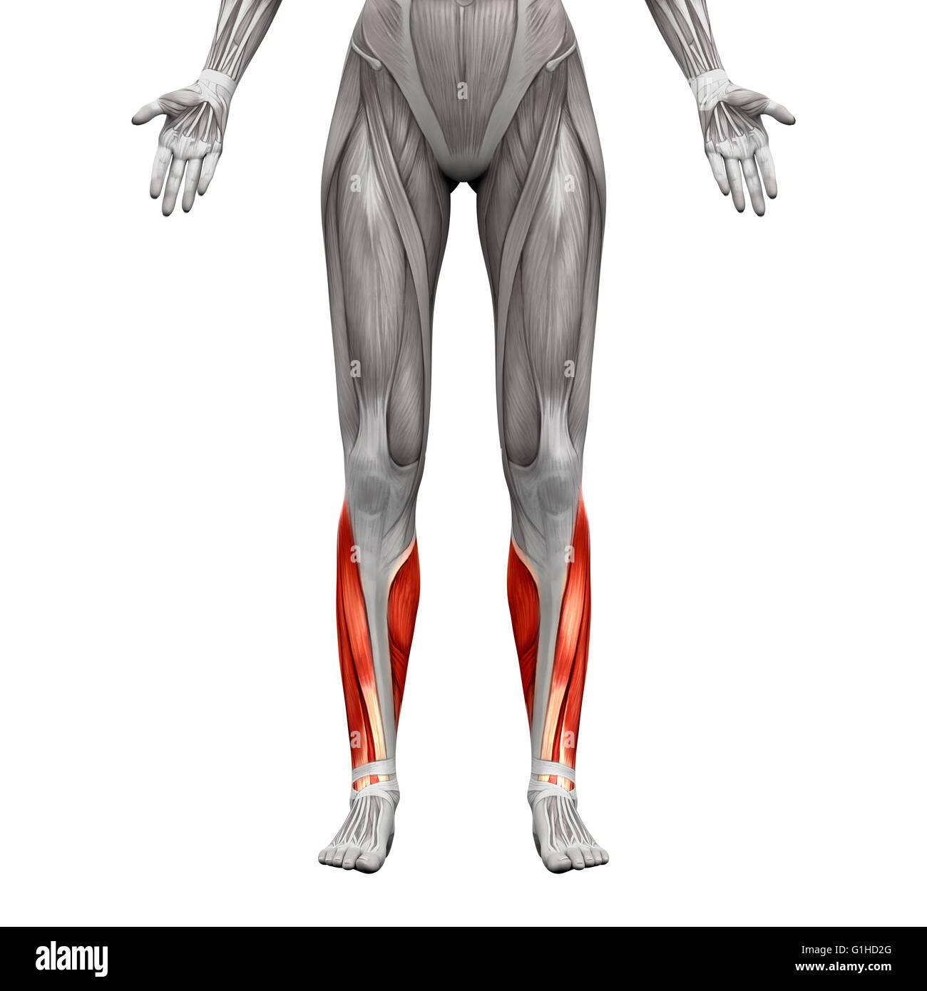 Gastrocnemius Muscle Stock Photos Gastrocnemius Muscle Stock