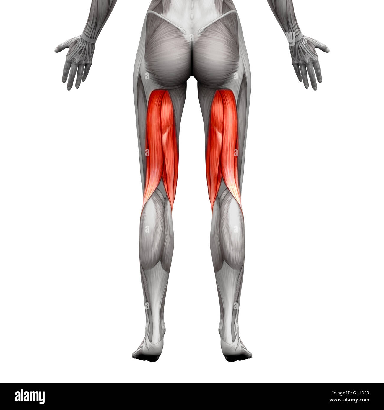 Hamstring Muscle Stock Photos & Hamstring Muscle Stock Images - Alamy