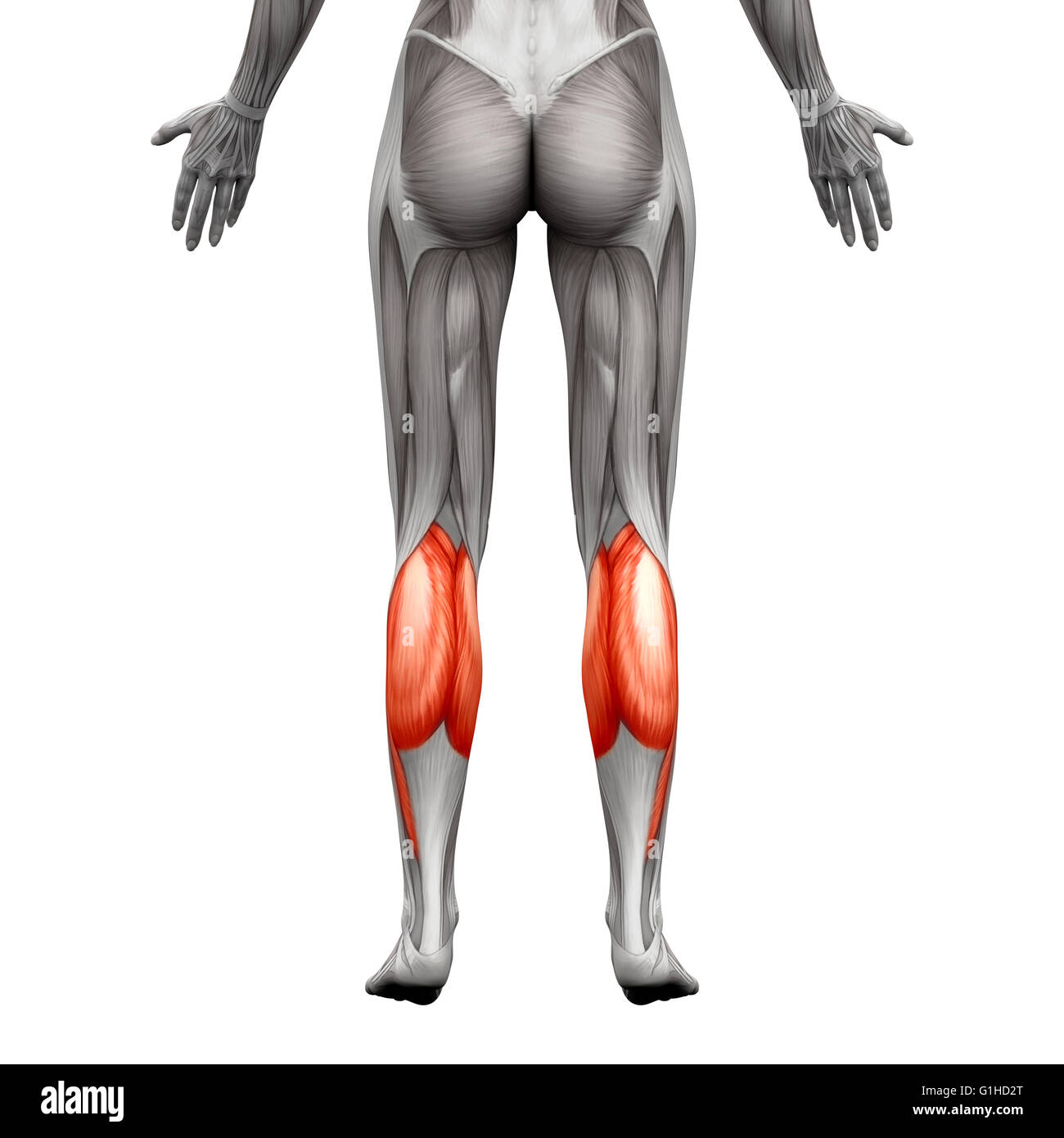 Calf Muscle - Gastrocnemius, Plantar Anatomy Muscle - isolated on ...