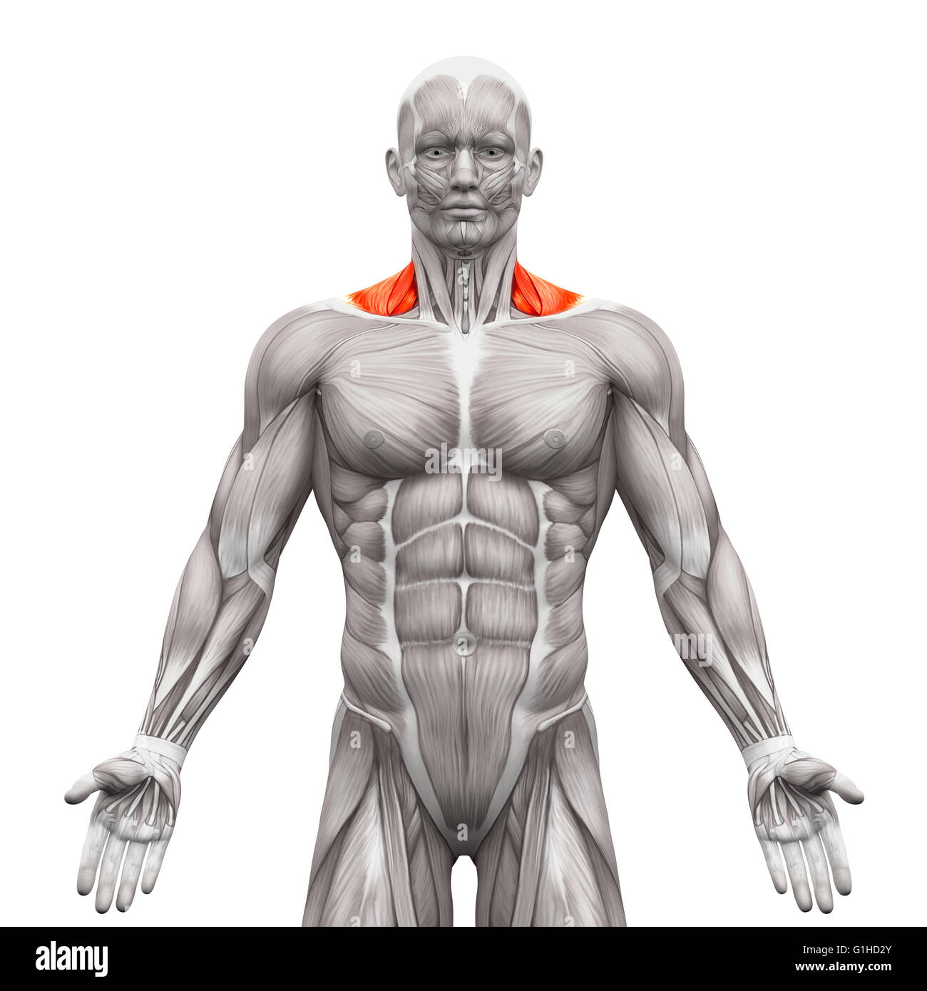Trapezius Front Neck Muscles Anatomy Muscles Isolated On White
