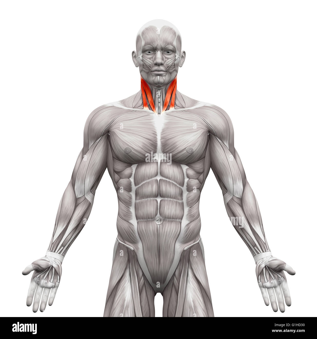 Neck Muscles - Sternal Head and Clavicular Head - Anatomy Muscles ...