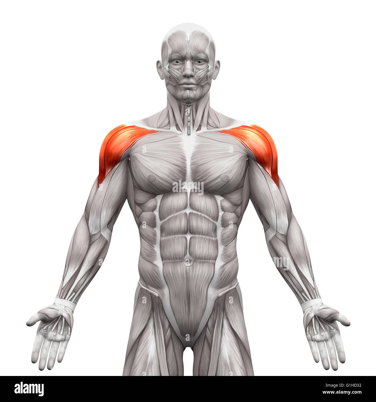 Deltoid Muscles Anterior - Anatomy Muscles isolated on white - 3D ...