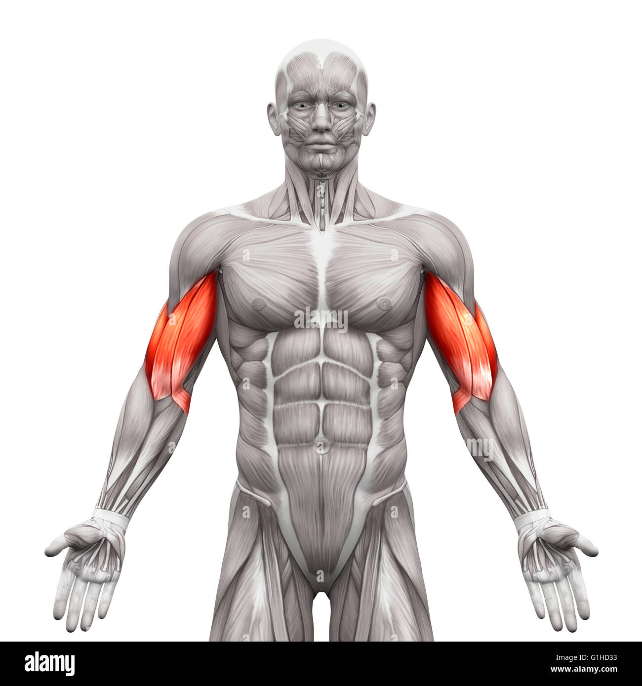 Brachialis Muscle Stock Photos & Brachialis Muscle Stock Images - Alamy