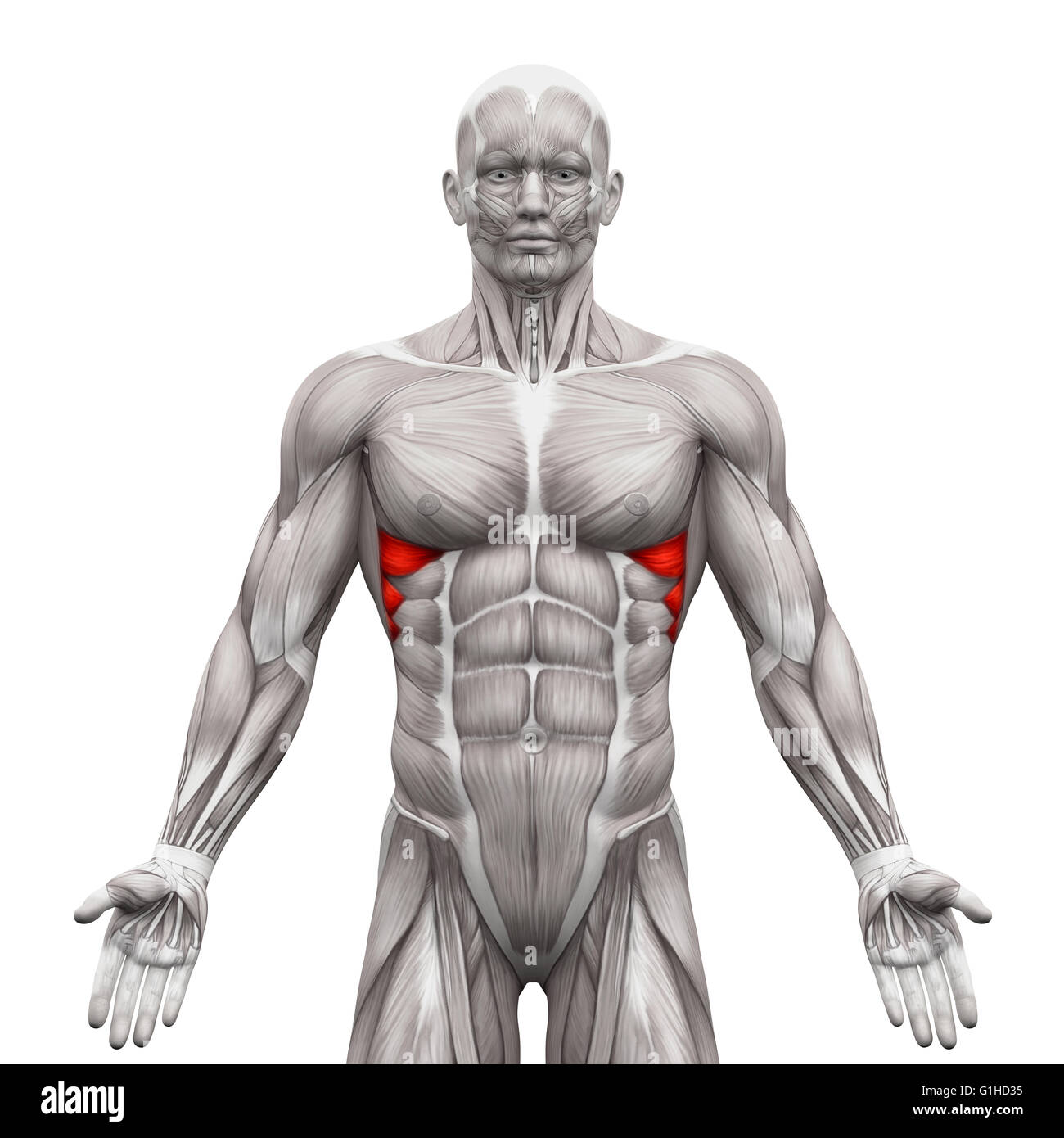 Serratus Anterior Muscles - Anatomy Muscles isolated on white - 3D ...