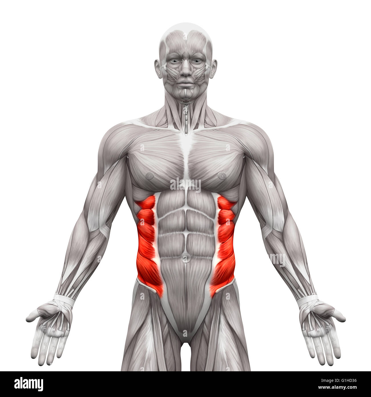 External Oblique Muscles - Anatomy Muscles isolated on white - 3D illustration - Stock Image