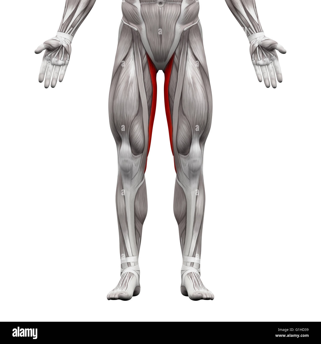 Gracilis Muscle Anatomy Muscles Isolated On White 3d