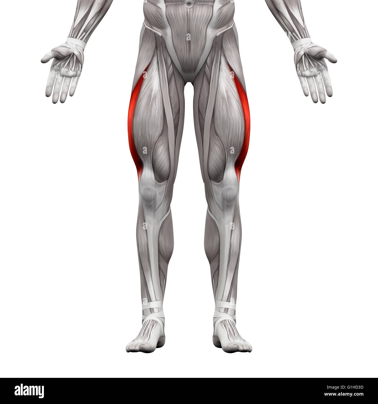 Vastus Lateralis Muscle Anatomy Muscles Isolated On White 3d