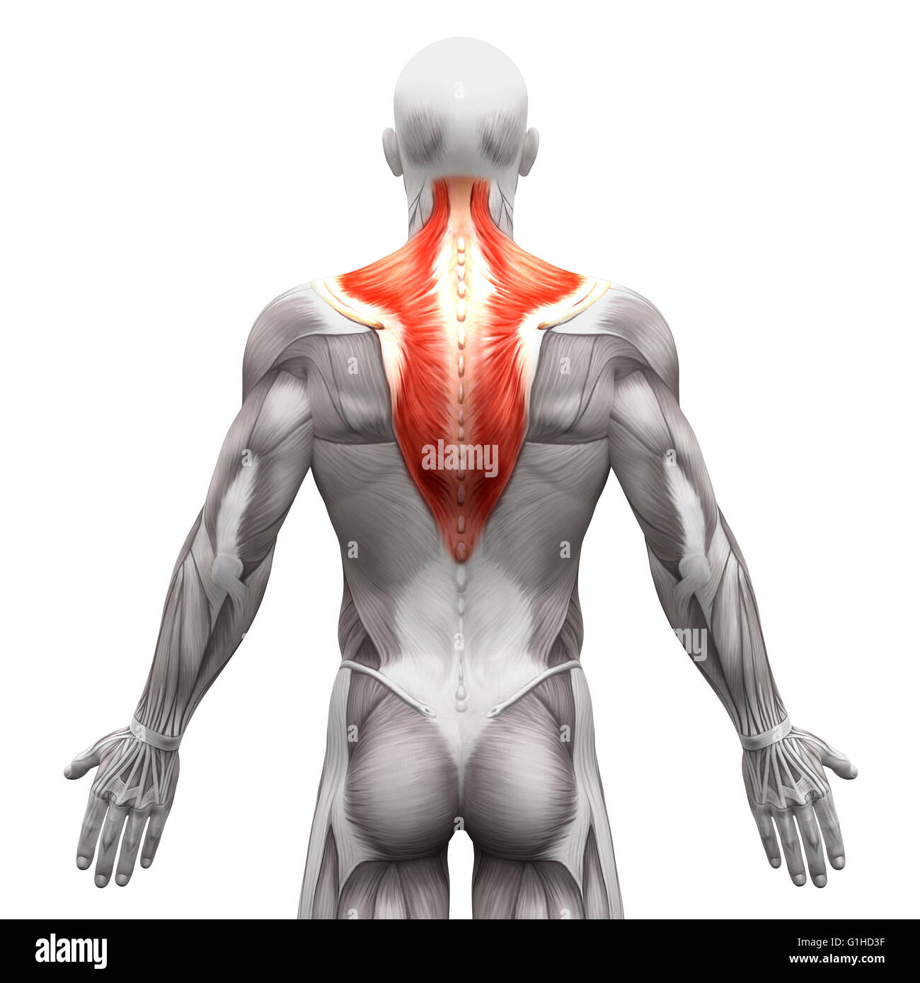 Trapezius Muscle Anatomy Muscles Isolated On White 3d Stock