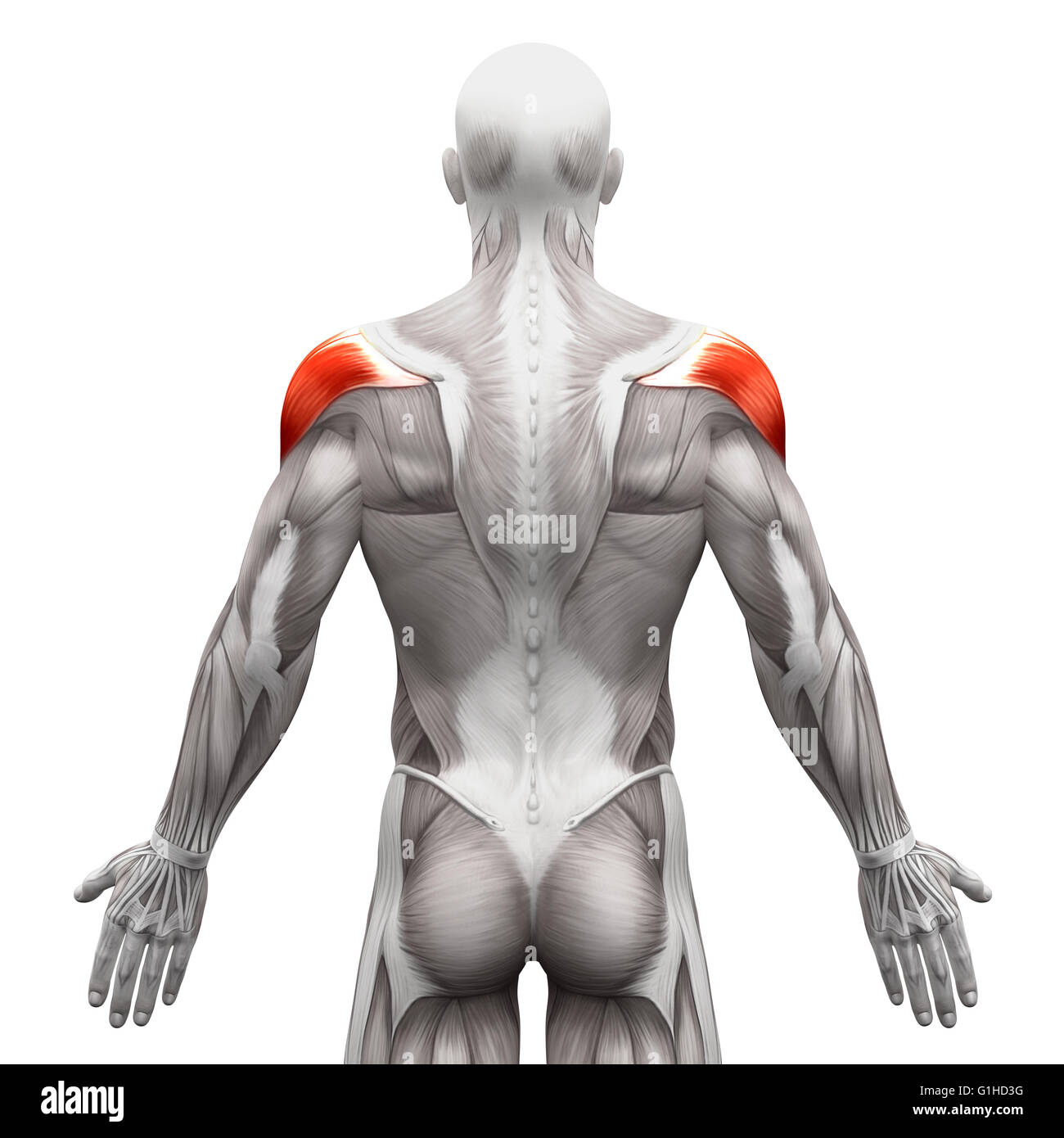 Deltoid Muscle - Anatomy Muscles isolated on white - 3D illustration ...