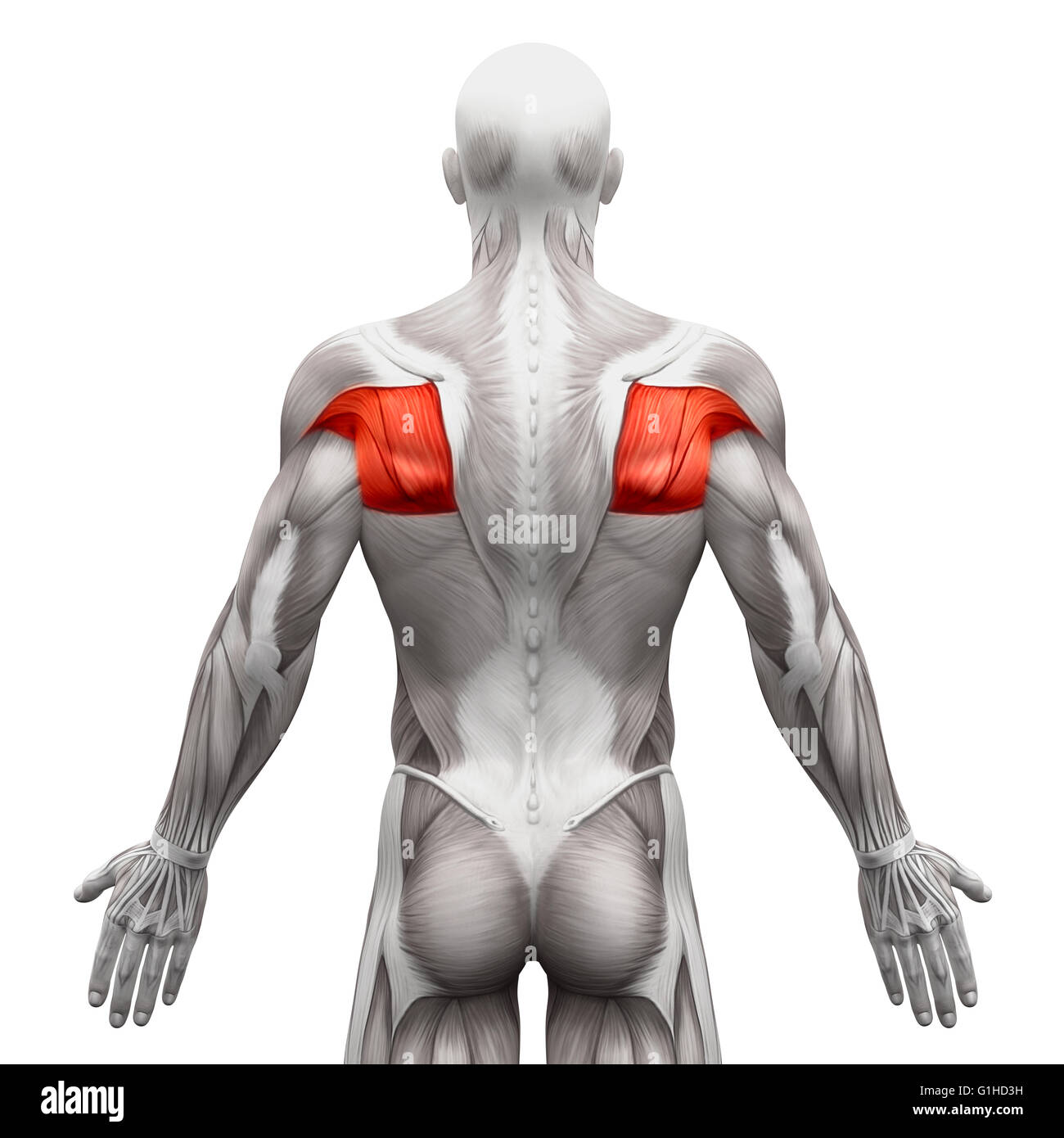 Upper Body Anatomy Stock Photos & Upper Body Anatomy Stock Images ...