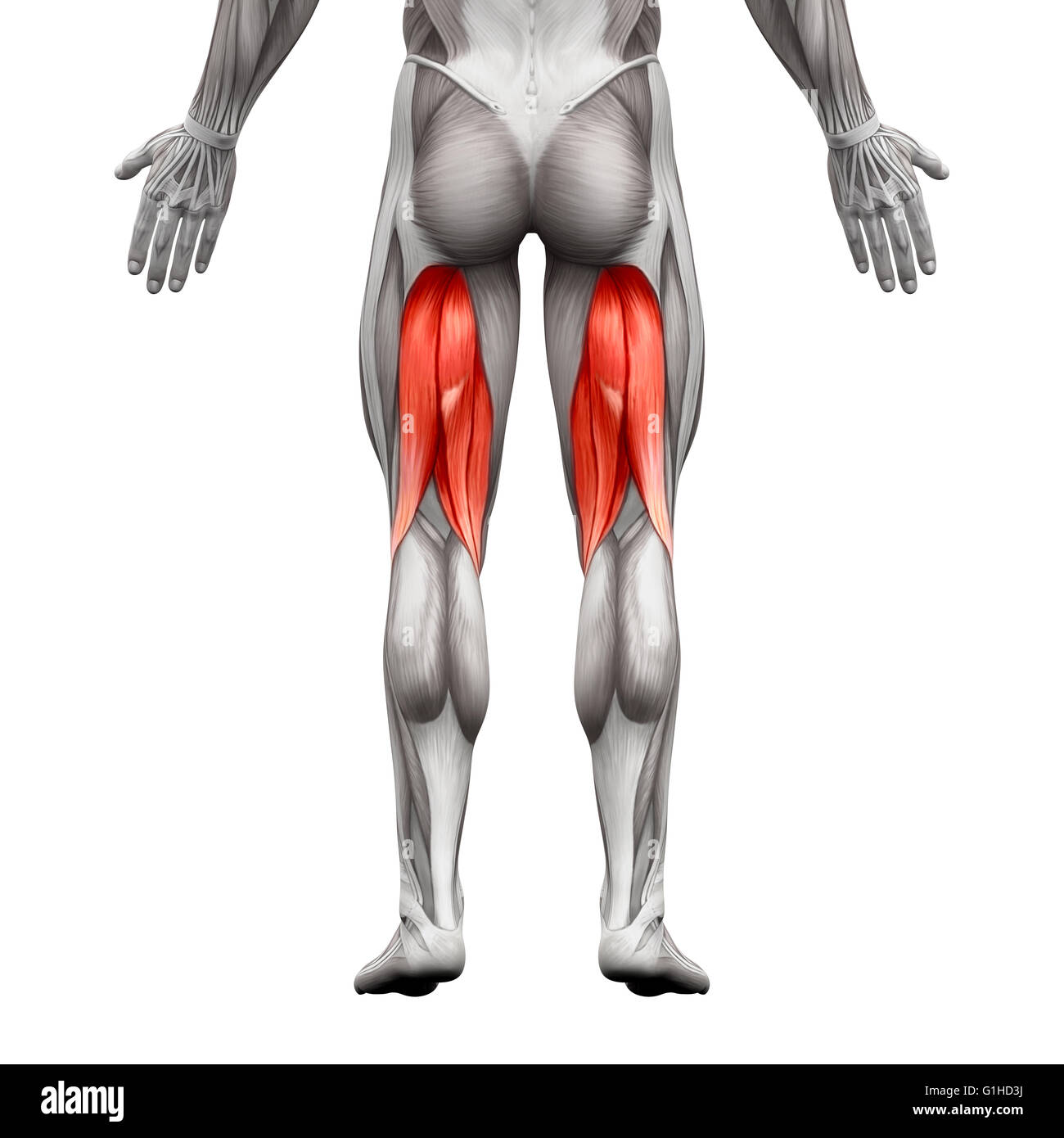 Hamstrings Male Muscles - Anatomy Muscle isolated on white - 3D ...
