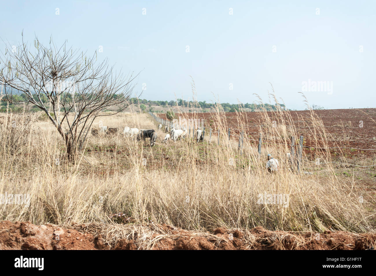 White and black oxes on a field in a landscape in Shan hills area near Inle lake in Myanmar Burma. Stock Photo