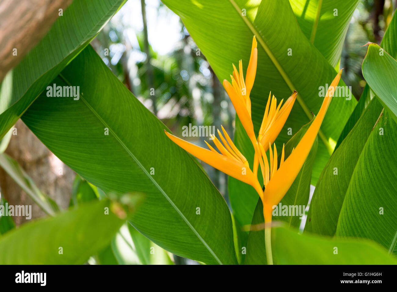 Beautiful yellow Heliconia flower tree in the Tropical Botanical Garden. - Stock Image