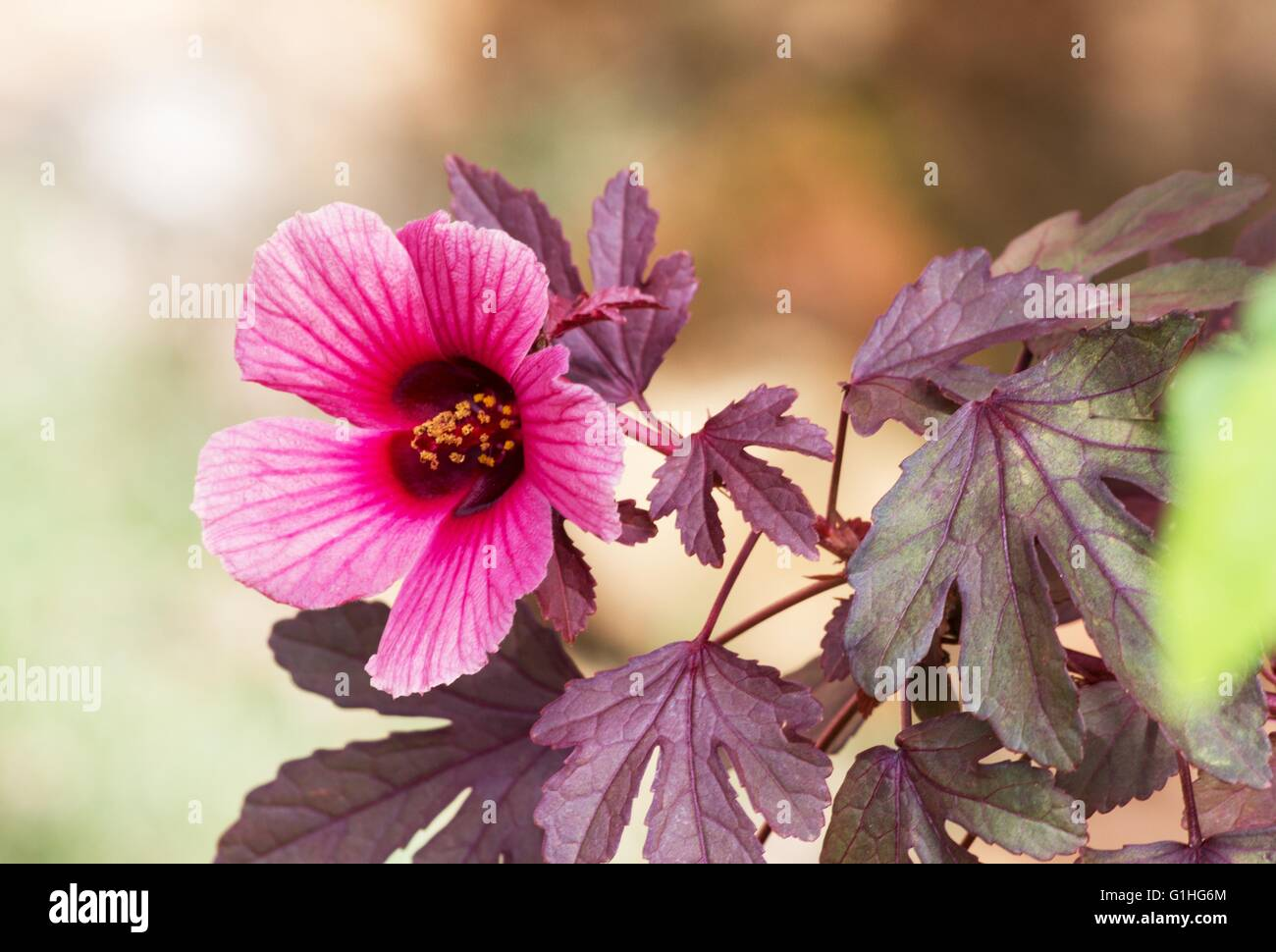 Buds of hibiscus flower stock photos buds of hibiscus flower stock roselle hibiscus sabdariffa plant and flower stock image izmirmasajfo