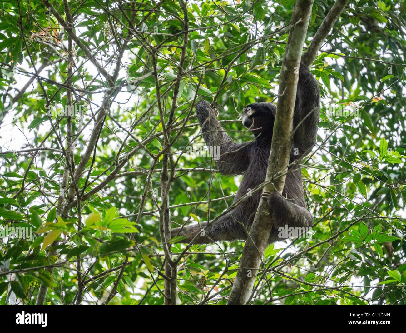 Three toed sloth in a tree Stock Photo