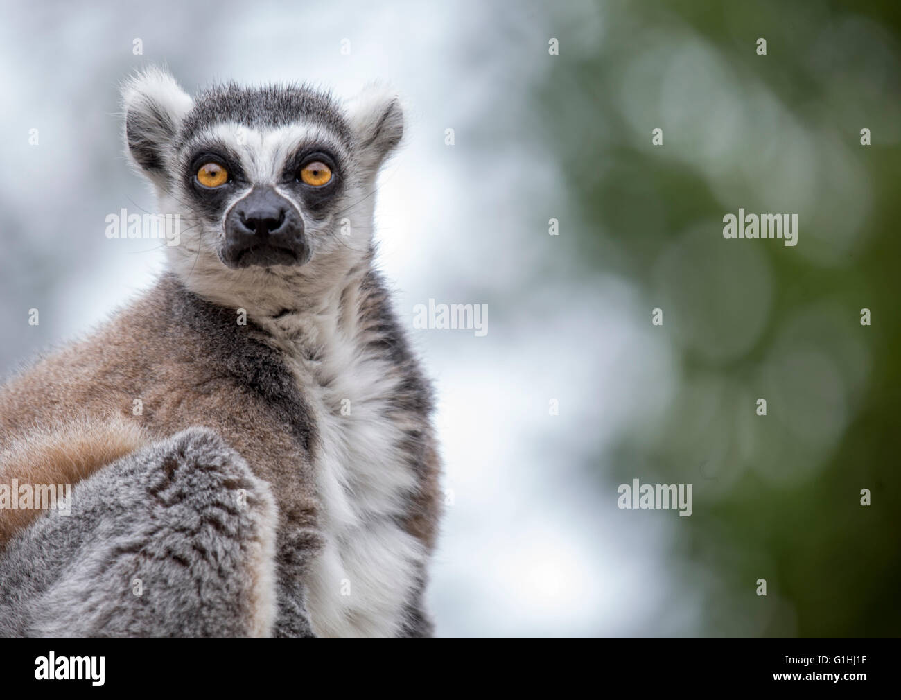 A captive  Madagascan Lemur female looks to Camera . Out of Focus background, eyes sharp in focus - Stock Image