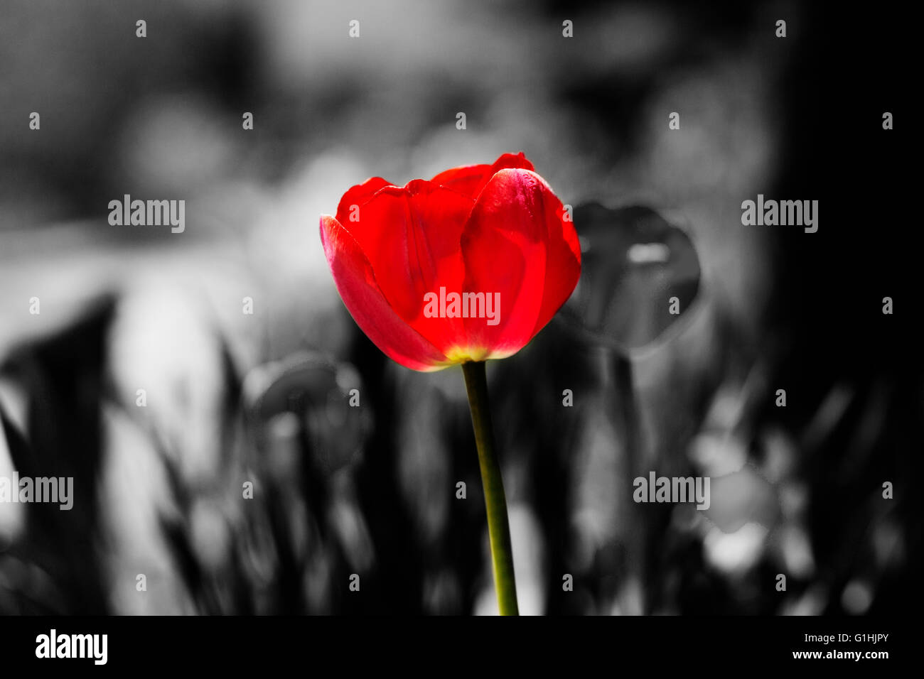 Red tulip color splash red tulip stock image