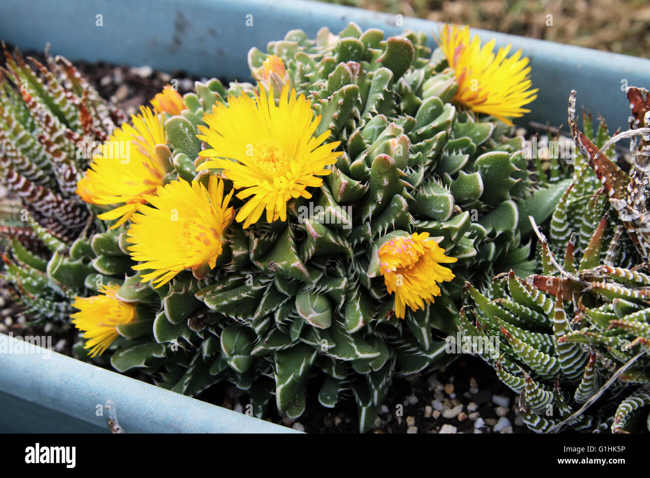 Mouth looking succulents stock photos mouth looking succulents close up of tiger jaws succulent plant or known as faucaria tigrina with yellow flowers mightylinksfo