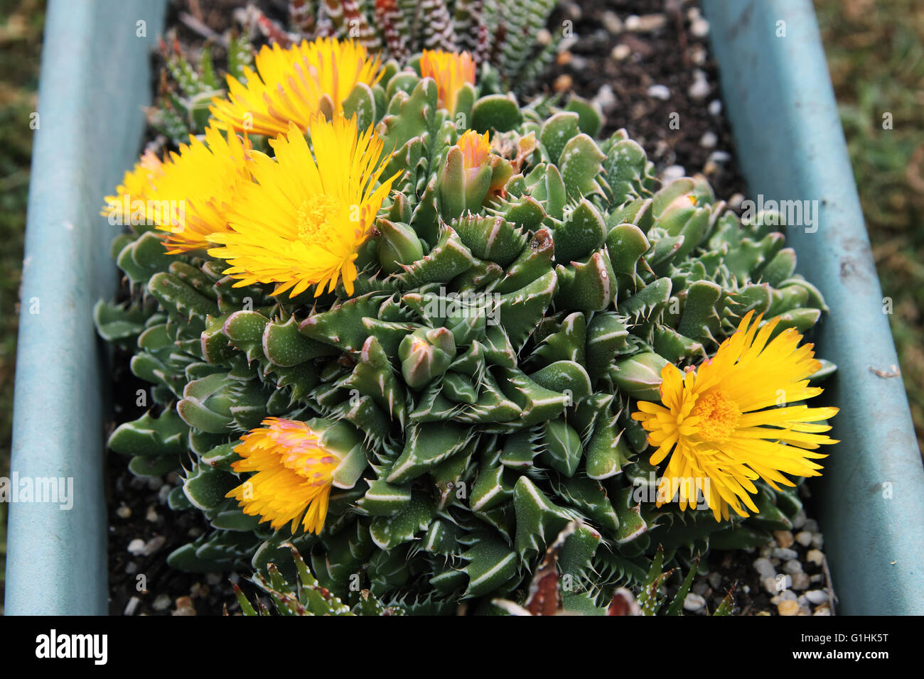 Tiger jaws succulent plant stock photos tiger jaws succulent plant tiger jaws succulent plant or known as faucaria tigrina with yellow flowers stock image mightylinksfo