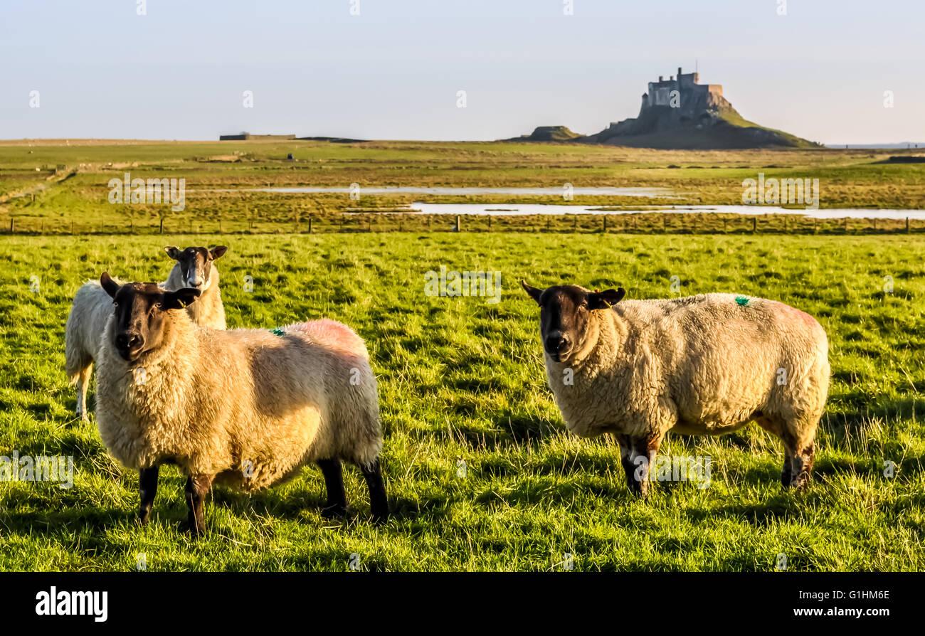 Lindisfarne Sheep Stock Photo