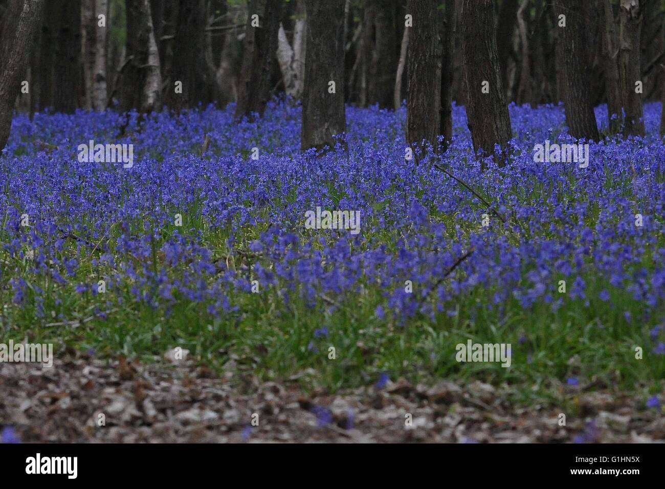 Bluebell Woods and individual flowers - Stock Image