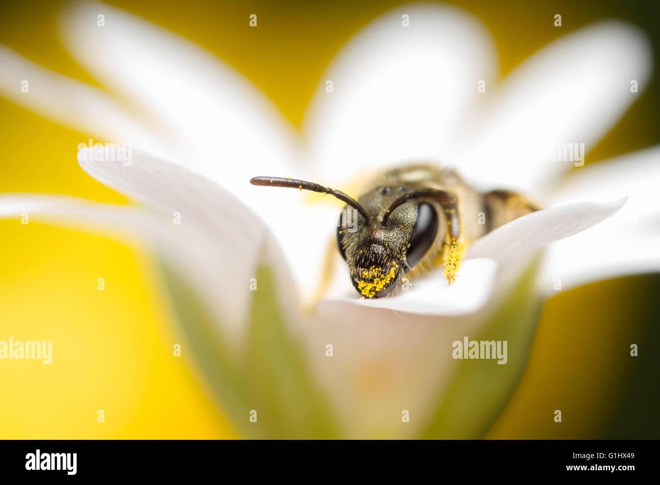 Tiny solitary bee, Halictus tumulorum on wildflower - Stock Image
