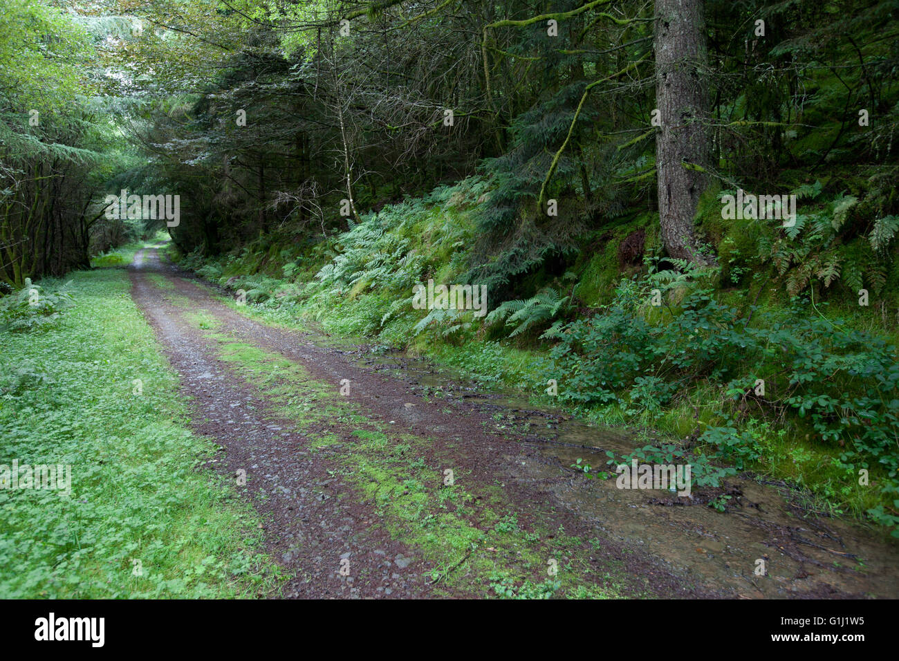 A track through mature wood plantation on Forestry Commission of Wales land near  Neath. - Stock Image