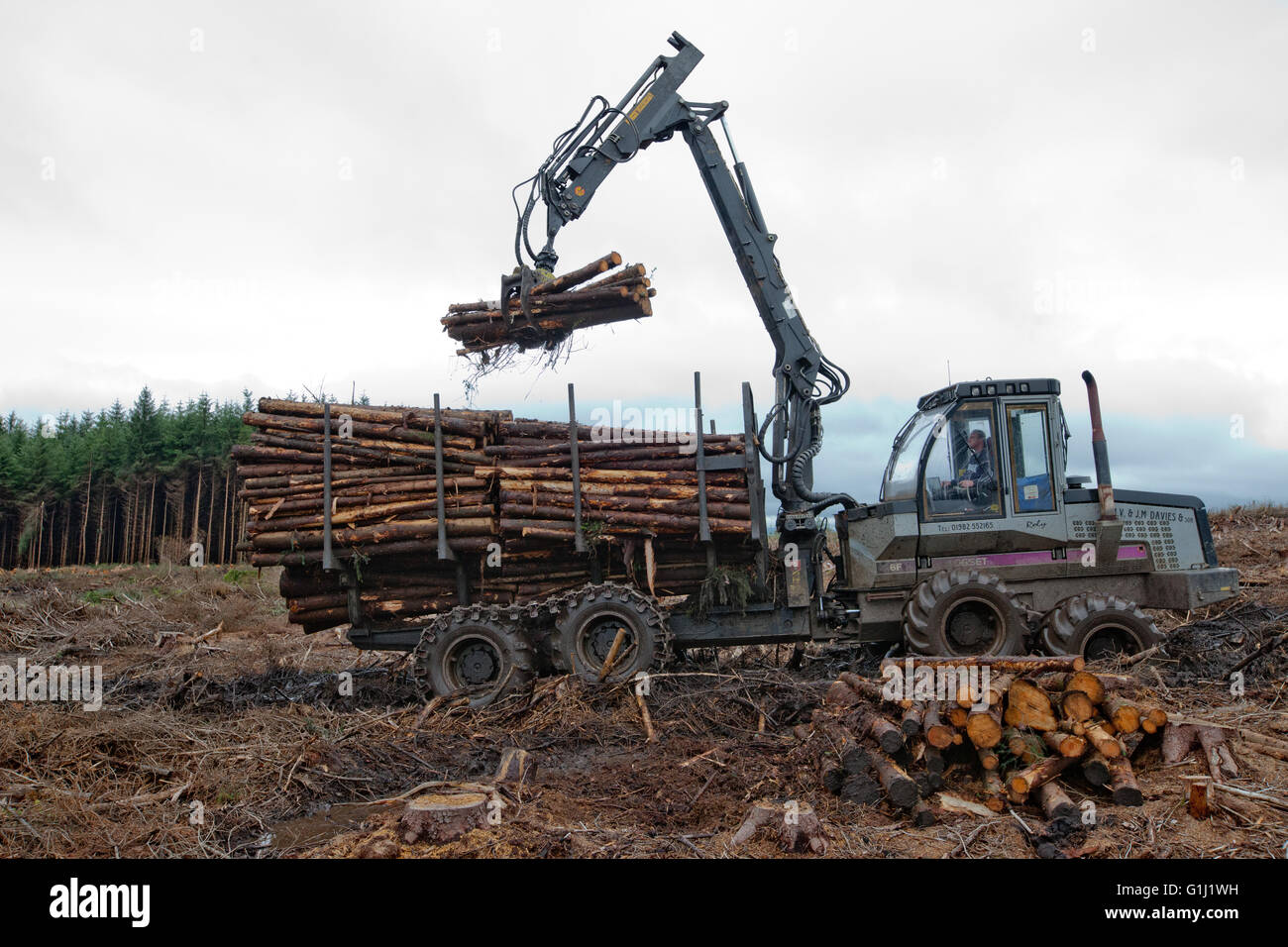 A forwarder collects logs of douglas fir from a plantation on Forestry Commission Wales land that is being clear Stock Photo