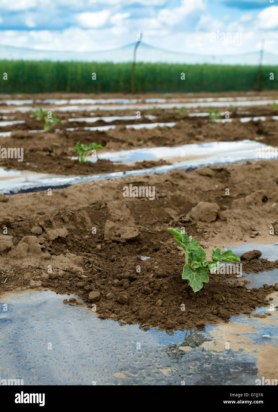 Watermelon plant maturing on plastic foil at field - Stock Image