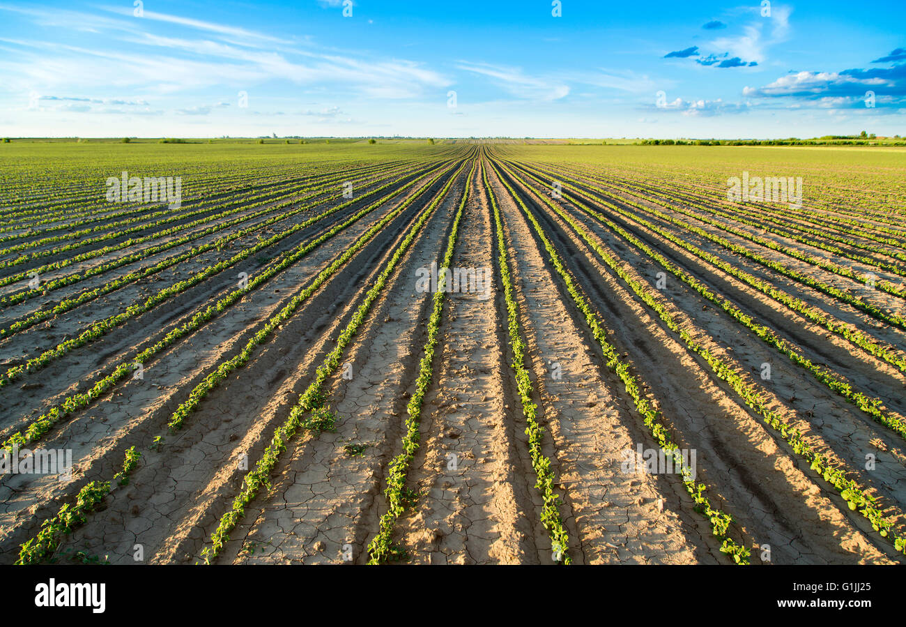 Field of green soya bean plants growing and maturing - Stock Image