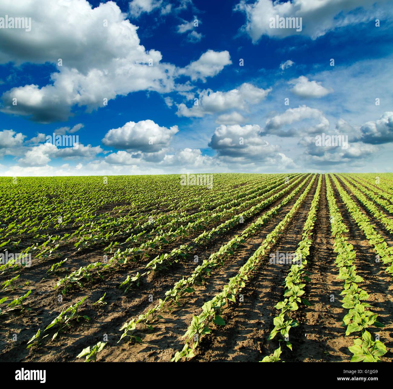 Green sunflower field maturing - Stock Image