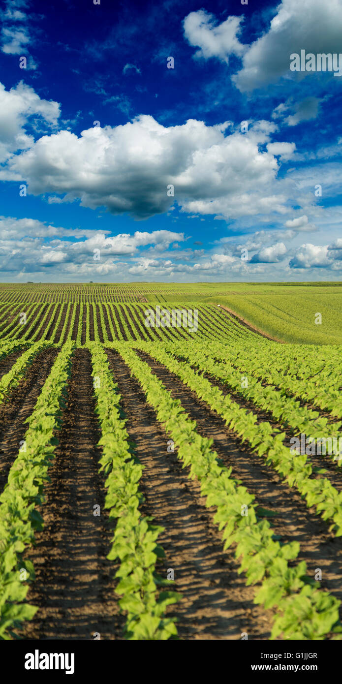 Green sunflower crops field maturing on hill - Stock Image
