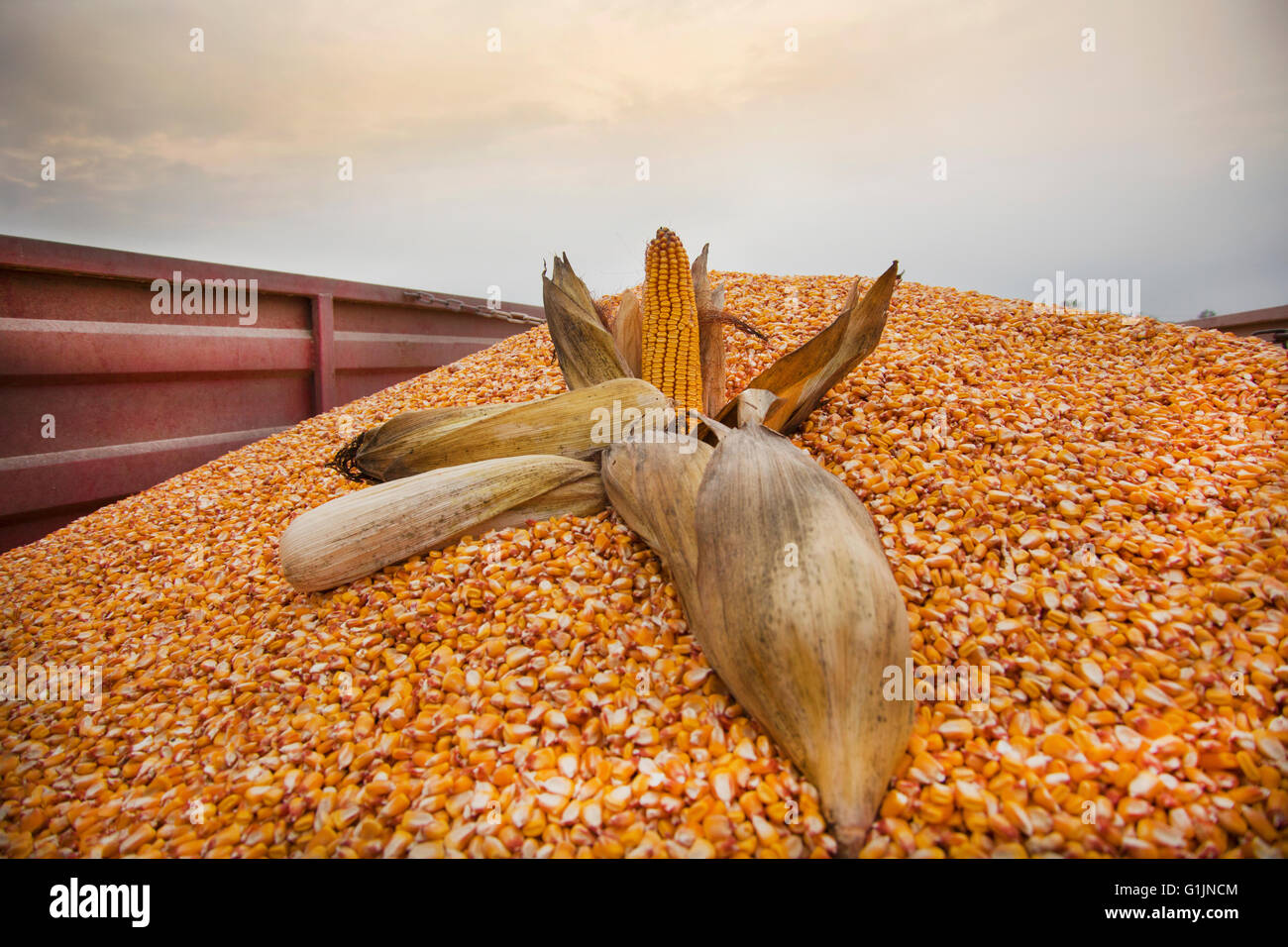 Corn ears on corn seeds in tractor trailer ready for transport. - Stock Image