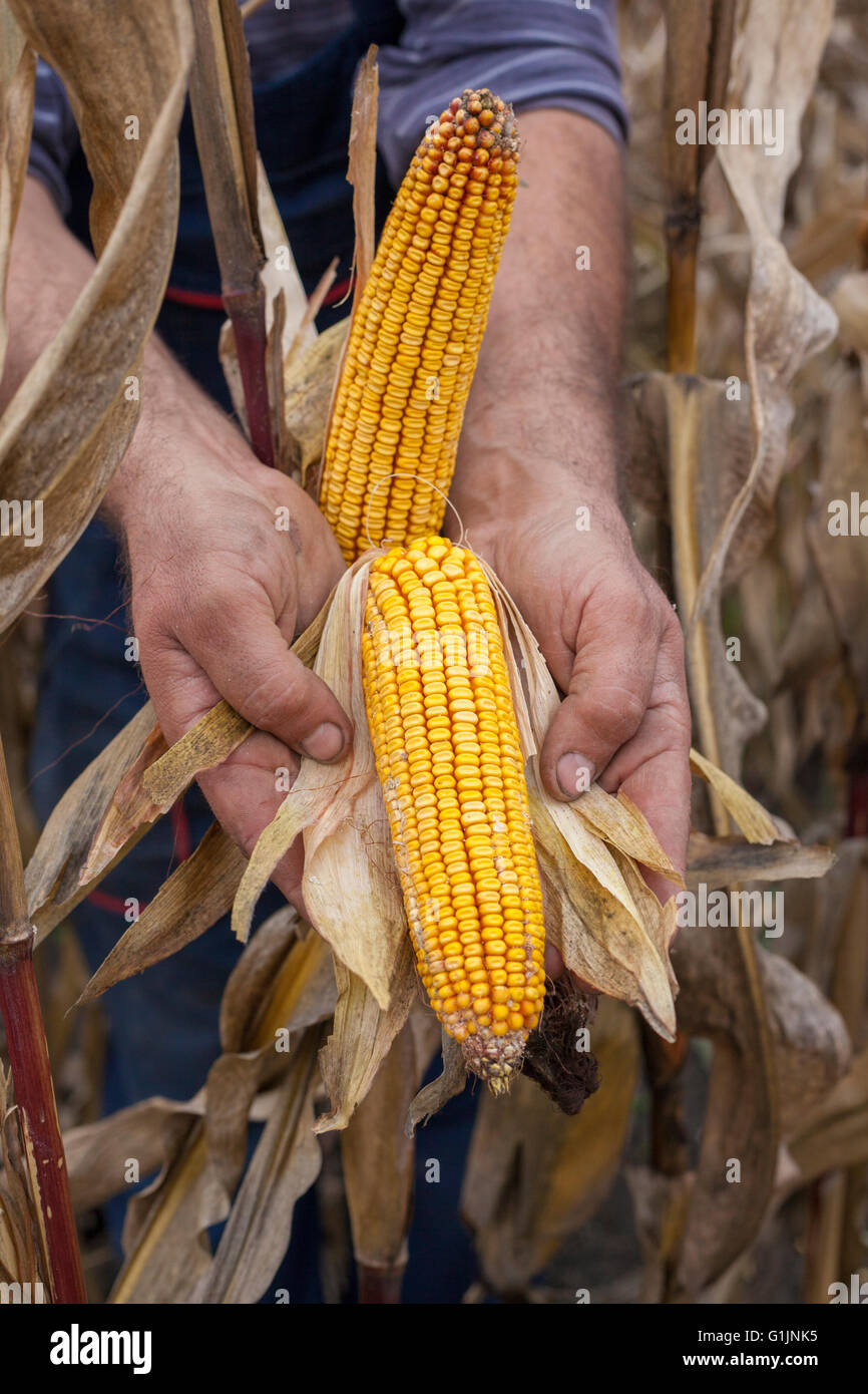Farmer's hands showing corn maize ears ready to be harvested - Stock Image