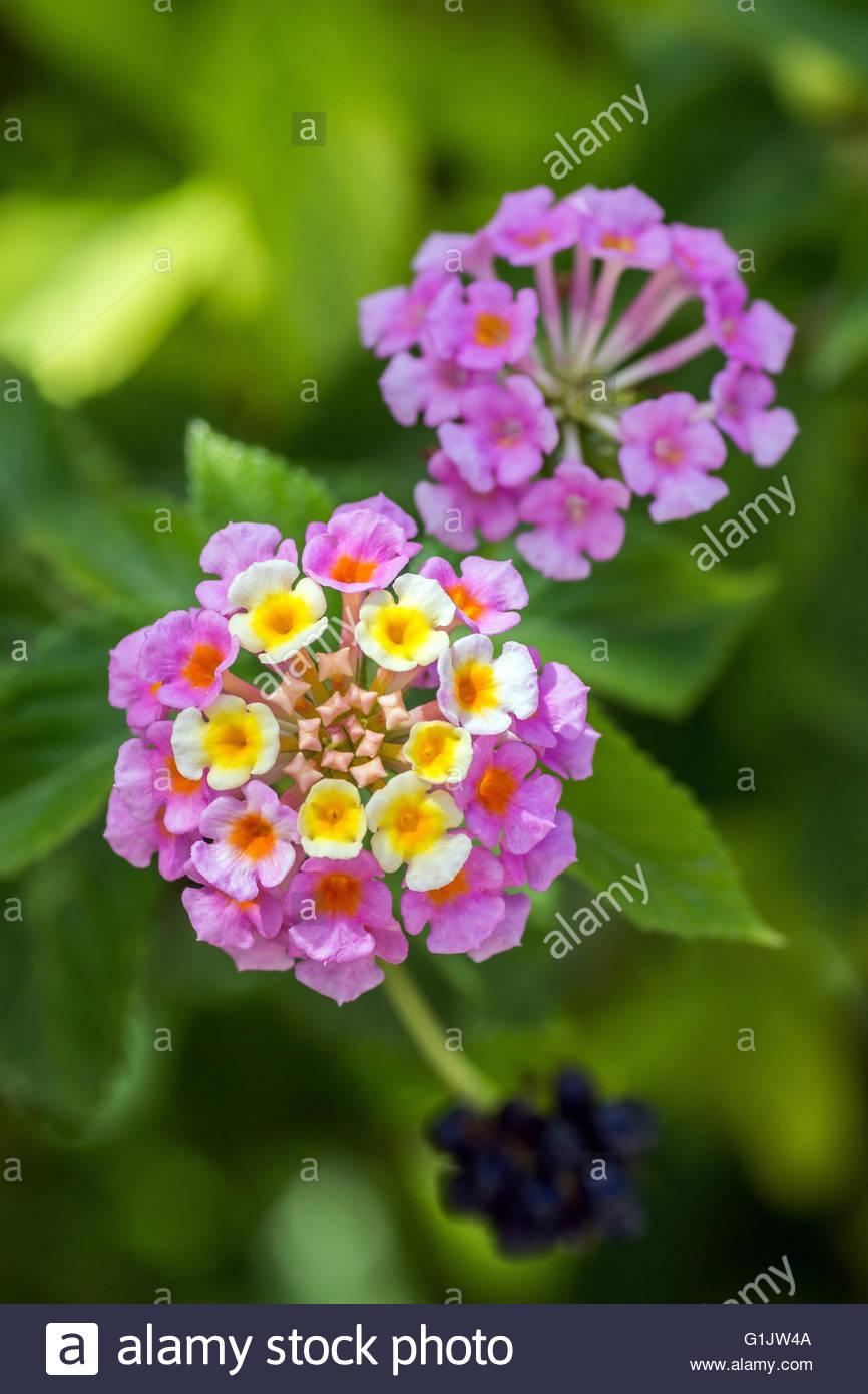 Lantana camara, known as big-sage, red-sage, white-sage or tickberry Stock Photo