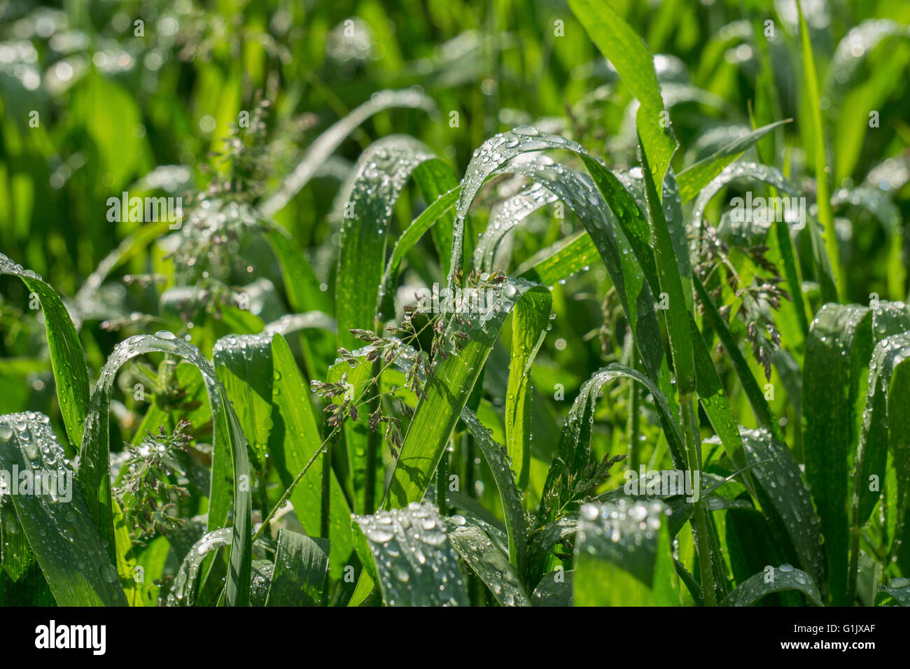 Rain drops on young green wheat leaves after a heavy rain. - Stock Image