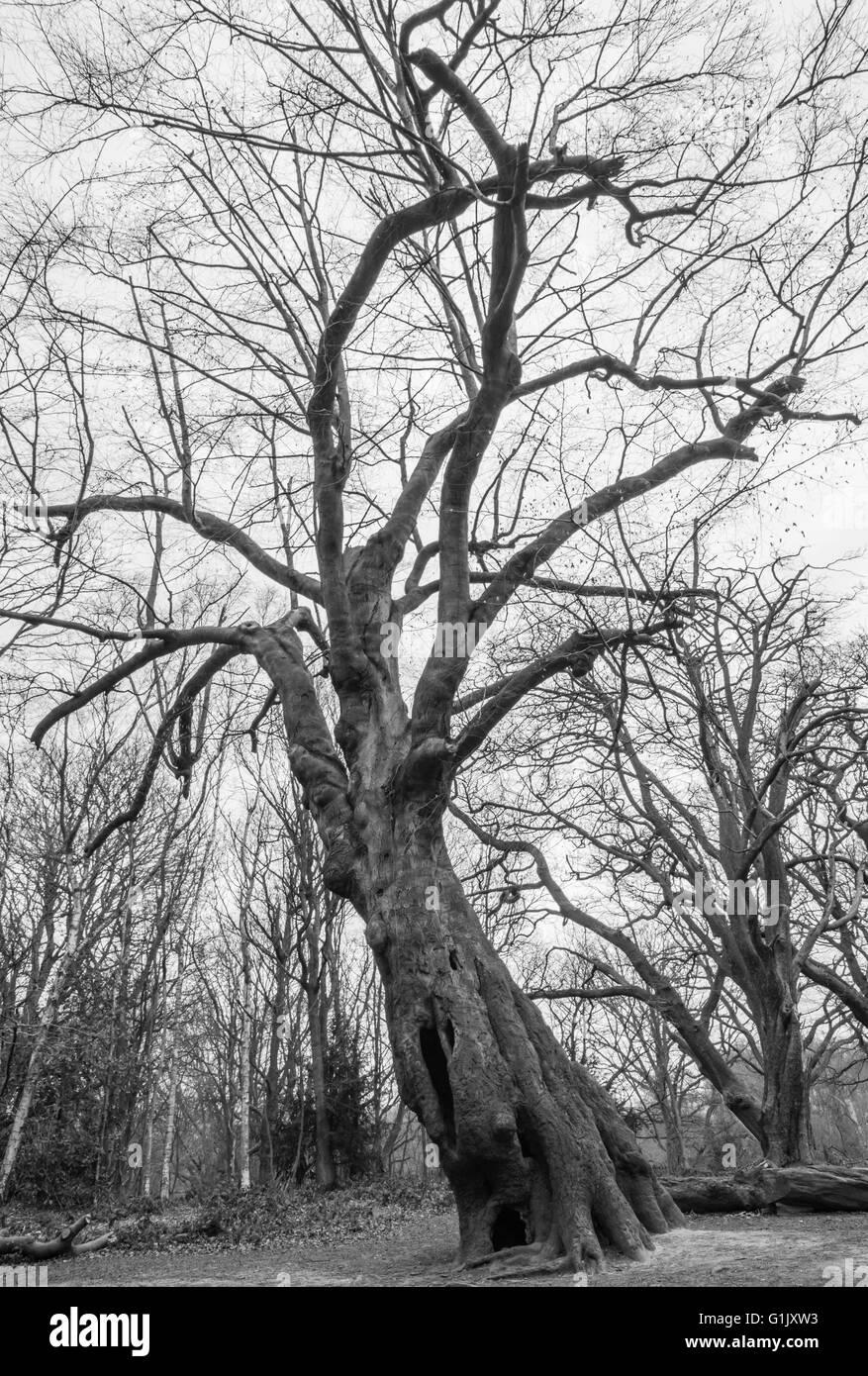 Black and white image of a bare tree on Hampstead Heath, London, UK. - Stock Image