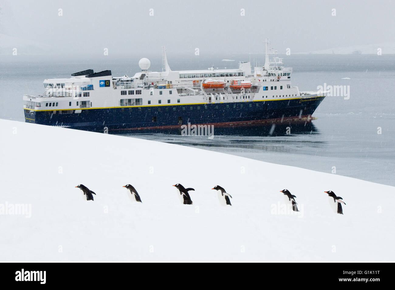 Gentoo Penguins and National Geographic Explorer, Antarctica - Stock Image