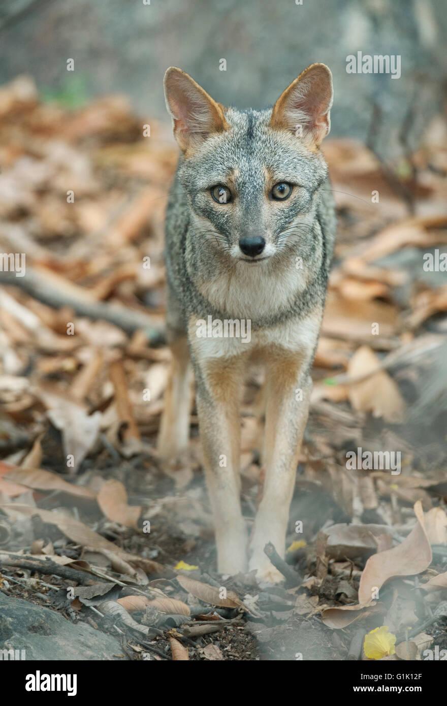 Sechuran Fox (Lycalopex sechurae) Wild, Chaparri Reserve, Lambayeque, Northern Peru Stock Photo