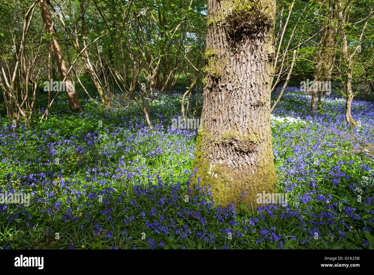 Bluebell Hyacinthoides non-scripta Garston Wood RSPB reserve near Shaftesbury Dorset England UK - Stock Image