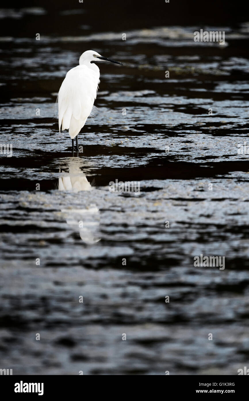 Great white egret (Egratta alba), standing in water with reflection, Kruger National Park, South Africa - Stock Image