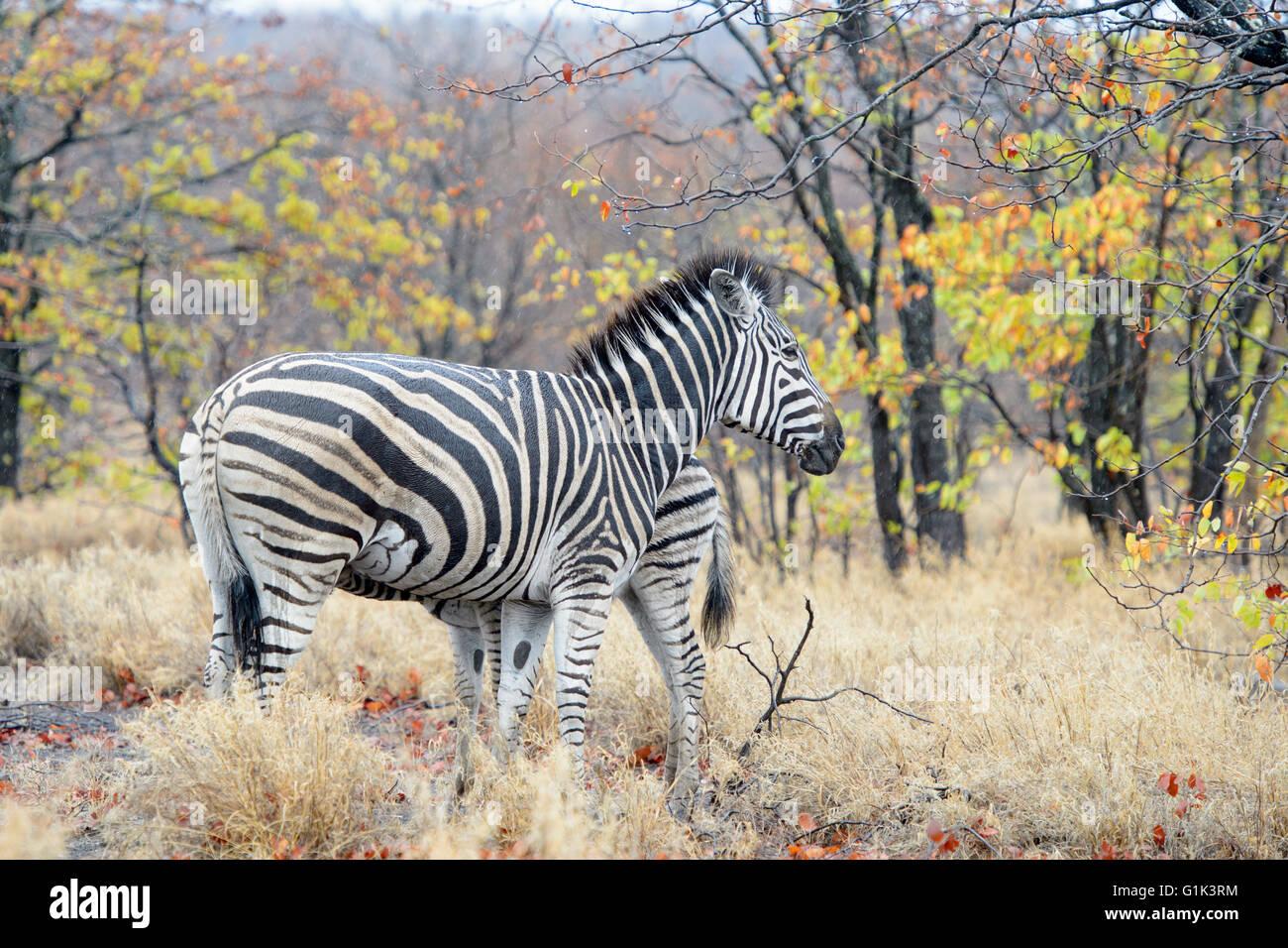 Plains zebra (Equus quagga) juvenile drinking with mother, Kruger National Park, South Africa - Stock Image