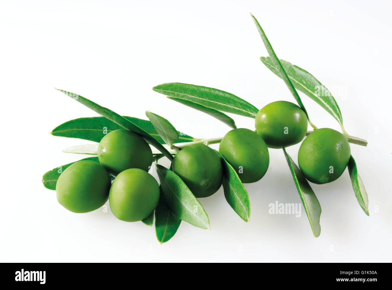 Close up of fresh picked green olives on a branch with leaves - white background cut out - Stock Image