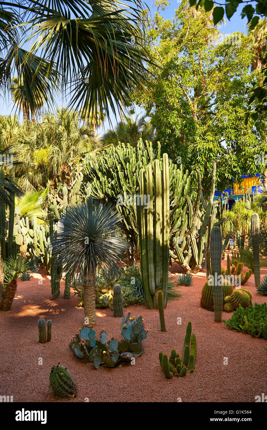 Catus in The Majorelle Garden botanical garden designed by French artist Jacques Majorelle in the 1920s and 1930s, - Stock Image